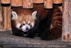Roter Panda 1