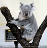 Koala vor dem wiegen