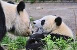Pandababy ein wenig geschockt