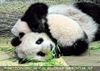 Wildes Panda kuscheln