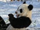 Große Panda Mahlzeit 21
