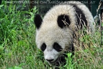 Großer kleiner Panda 2