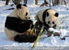 Große Panda Mahlzeit 04