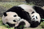 Große Panda Entspannung