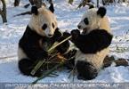 Große Panda Mahlzeit 16