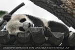 Großer kleiner Panda 8