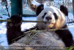 Großer Panda 2