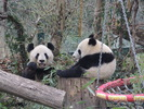 Yang Yang und Fu Bao