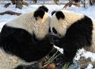 Große Panda Mahlzeit 06