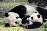 Hey kleiner großer Panda