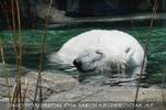 Eisbärenwelt Franz Josef Land