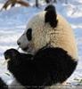Große Panda Mahlzeit 13