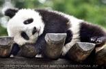 Großer kleiner Panda 9