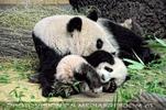 Große Panda Idylle