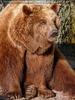 Braunbären 09