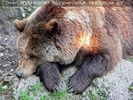 Braunbären 11