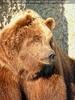 Braunbären 12
