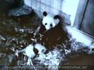 Panda Fu Long in der Wurfbox