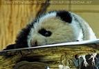 Welcome Panda Fu Long 06