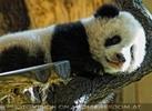 Welcome Panda Fu Long 10