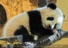 Welcome Panda Fu Long 11