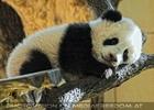 Welcome Panda Fu Long 12