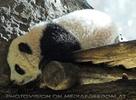 Welcome Panda Fu Long 13