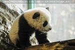 Welcome Panda Fu Long 15