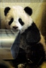 Fu Long der neugierige Baby Panda