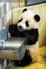Fu Long der drollige Baby Panda