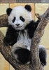 Großer Panda - kleiner Fu Long 07