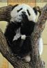 Großer Panda - kleiner Fu Long 09