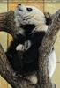 Großer Panda - kleiner Fu Long 10