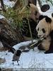 Große Pandas im Schnee 02