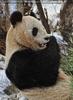 Große Pandas im Schnee 03