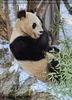 Große Pandas im Schnee 04