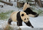 Große Pandas im Schnee 05