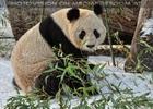 Große Pandas im Schnee 06