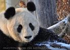 Große Pandas im Schnee 07
