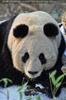 Große Pandas im Schnee 08