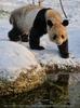 Große Pandas im Schnee 09