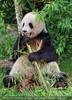 Großer Panda frisst Bambus 01
