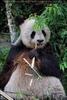 Großer Panda frisst Bambus 02