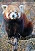 Roter Panda sieht mich an