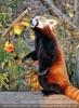 Roter Panda bei seinen Früchten