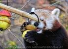 Roter Panda und die saure Kiwi