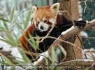 Roter Panda im Schnee 01