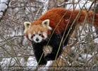 Roter Panda im Schnee 02