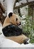 Großer Panda frisst im Schnee