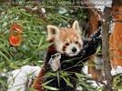 Roter Panda im Schnee 04